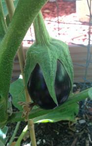 Organic Black Eggplant